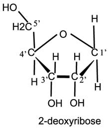 2-deoxyribose
