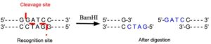 BamH1 Restriction Enzyme