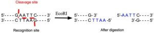 EcoRI Restriction Enzyme