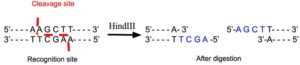 HindIII Restriction Enzyme