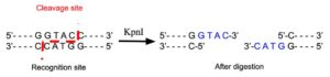 KpnI Restriction Enzyme