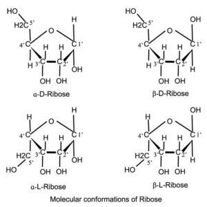 Molecular conformations of Ribose
