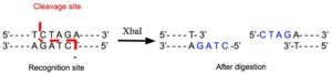 Nhe1 Restriction Enzyme