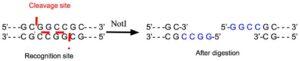 NotI Restriction Enzyme