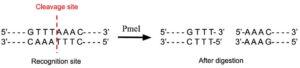 PmeI Restriction Enzyme
