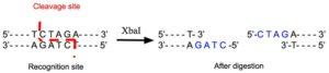 XbaI Restriction Enzyme